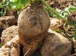 تولید 95 هزار تن محصول چغندرقند در قزوین