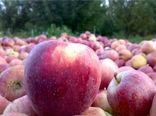 صادرات مستقیم سیب و حذف واسطهها در جریان تولید تا مصرف