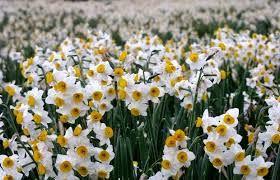 کشت نواری گل نرگس در شهرستان جهرم