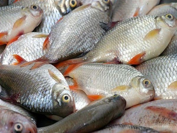 شهرستان ری؛ سومین تولید کننده ماهی در استان تهران