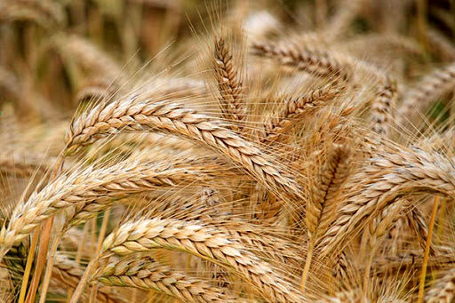 حوادث طبیعی ۱۵۰ میلیارد ریال به مزارع گندم و جو یزد خسارت زد
