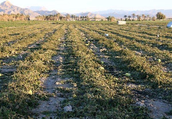 سطح بیمه محصولات کشاورزی از مرز 27 هزار هکتار گذشت