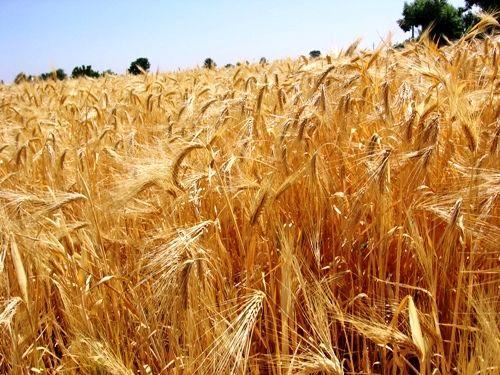 طرح افزایش 25 درصدی عملکرد محصولات دیم در استان قزوین اجرا می شود