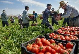 امکان بیمه اقساطی گوجه فرنگی فراهم شد