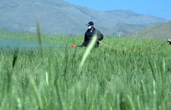 پایان مبارزه با سن مادر در ۲۳۲ هکتار از مزارع گندم و جو فریدن