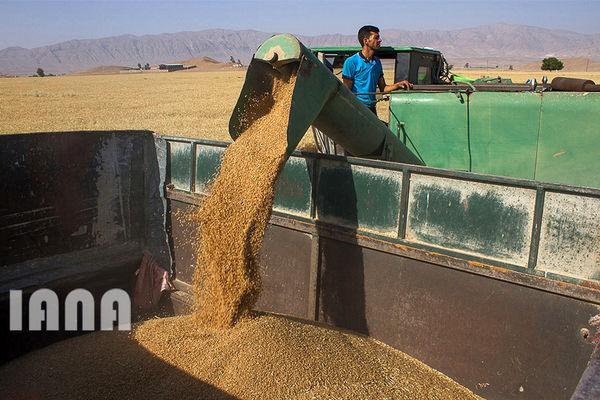 ۹.۵ میلیون تن گندم از کشاورزان خریداری شد