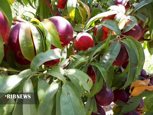 پیش بینی تولید ۴۴۰ هزار تن انواع محصولات باغی در کردستان