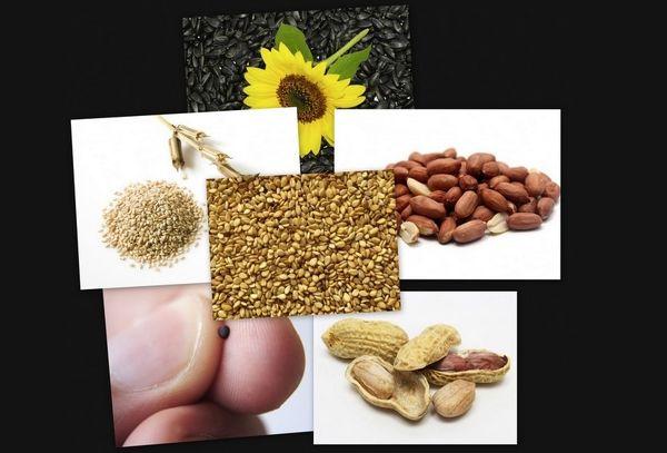 پیشبینی تولید 400 هزار تن دانههای روغنی در کشور/ آغاز خرید تضمینی دانههای روغنی از ابتدای سال
