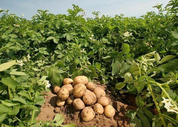 کشت سیب زمینی برای اولین بار در شهرستان نیر