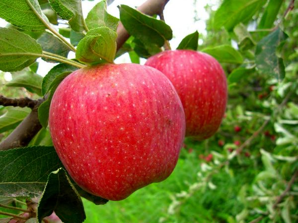 خرید 14 هزار تن سیب درختی صنعتی از باغداران آذربایجان غربی