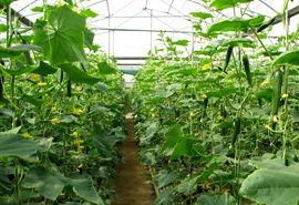 پرداخت 148 میلیارد تومان تسهیلات به متقاضیان بخش کشاورزی آبیک