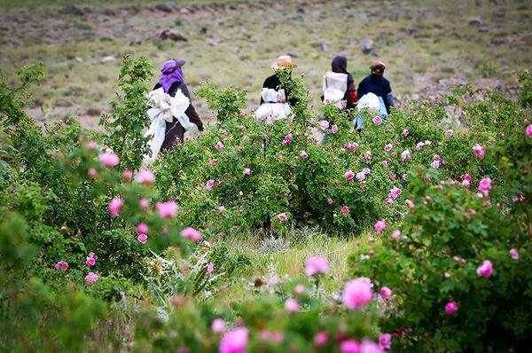 افزایش گردشگران داخلی و خارجی جشنواره گلابگیری