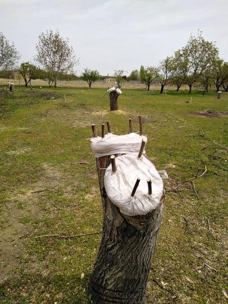 اجرای  طرح سرشاخه کاری در باغات آذربایجان غربی
