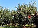 سطح بیمه باغهای شیروان ۵۰ درصد افزایش یافت