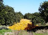 برداشت پرتغال در باغات مازندران