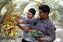 محصول شیرین نخیلات بوشهر به بازار آمد