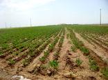 1400 هکتار از اراضی کشاورزی استان قزوین به زیر کشت چغندر قند رفت