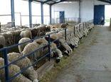 فعالیت تعداد 155 واحد گوساله و بره پرواری صنعتی در آذربایجان غربی