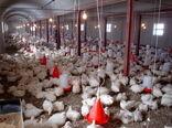 رشد پنج درصدی تولید مرغ گوشتی در بافق