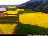 افزایش 40 درصدی کاشت کلزا در شهرستان مهران