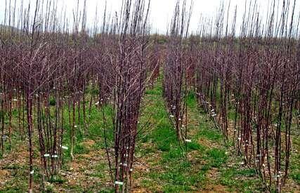 سالانه ۱۲ میلیون اصله نهال در استان ایلام تولید می شود