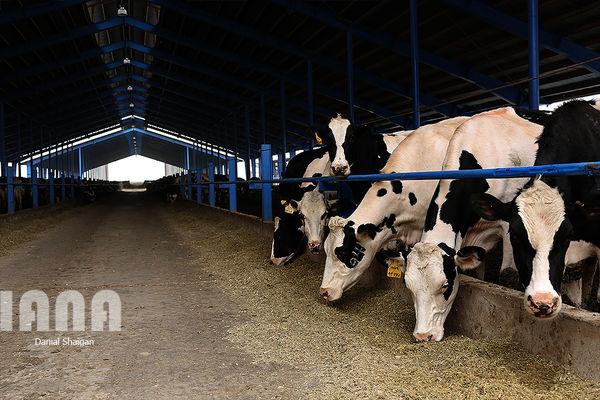 تورم تولید در گاوداریهای صنعتی 26 درصد افزایش یافت