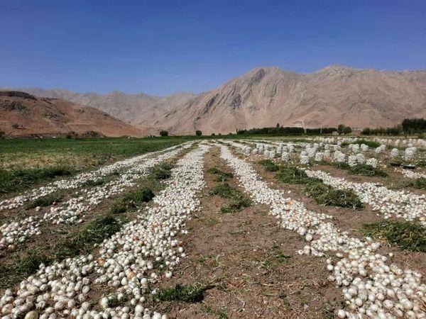 آغاز برداشت پیاز  از اراضی زراعی شهرستان فارسان