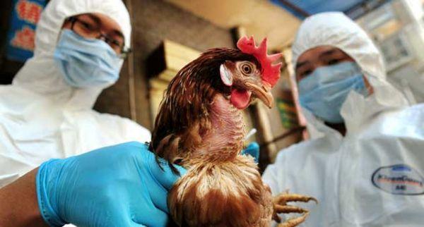 شیوع آنفلوانزای فوق حاد پرندگان H5N8 در یک فارم مرغ گوشتی در ژاپن