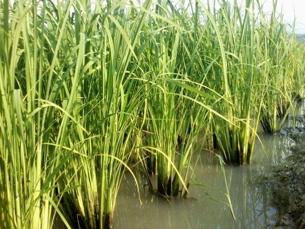 موافقت دولت با ممنوعیت کشت برنج خارج از شمال ایران