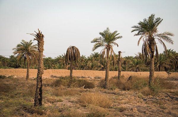 نابودی 4میلیون نخل یعنی شروع تخلیه خوزستان
