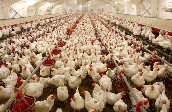 کاهش قیمت مرغ در چهارمحال و بختیاری