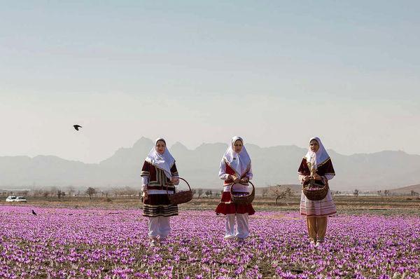 برداشت زعفران در شهرستان تربتحیدریه