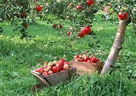 اختصاص3156 هکتار از باغات استان کرمان به محصول سیب