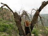 هوا که سرد میشود درختان بلوط هیزم میشوند!