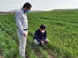 لزوم کنترل و مهار به موقع آفت سن غلات در مزارع شهرستان مراغه