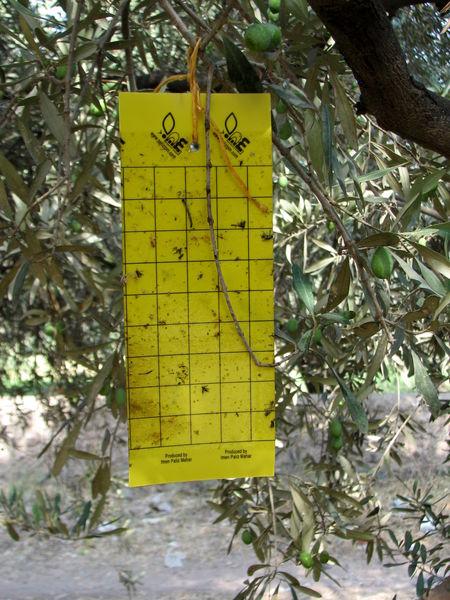 مبارزه با آفت مگس زیتون در سطح 2187  هکتار از باغهای استان قزوین