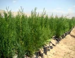 تولید ۱۹۰ هزار اصله نهال در نهالستان منابع طبیعی خراسان شمالی