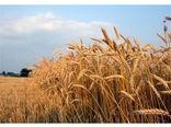 3500 تن گندم از کشاورزان نکایی خریداری شد
