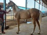 بازدید رییس سازمان جهاد کشاورزی خراسان شمالی از مزرعه پرورش اسب در مانه و سملقان