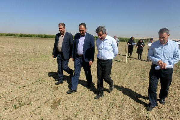 بازدید مجری طرح دانه های روغنی وزارت جهاد کشاورزی از مزارع کلزای میاندوآب و بوکان