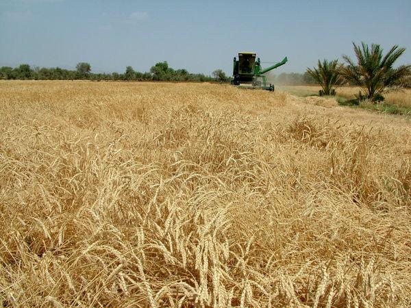 8 هزارتن گندم مازاد بر مصرف کشاورزان تحویل دولت شد