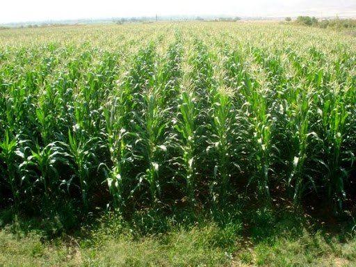 تاکنون 81130 تن ذرت دانه ای در استان کرمانشاه برداشت شده است