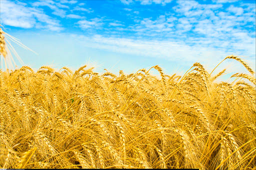 خروج گندم از چرخه خرید تضمینی، تخلف است و با آن برخورد میشود