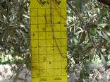 کاهش 40 درصدی خسارت آفت مگس  زیتون در باغات  استان قزوین