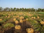 برداشت پیاز از زمین های کشاورزی سیستان وبلوچستان آغاز شد