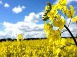 وزارت جهاد کشاورزی افزایش قیمت کلزا را دنبال می کند