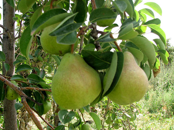 88 هکتار از باغات شهرستان البرز تحت پوشش بیمه محصولات کشاورزی قرار گرفت