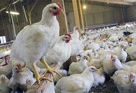 تولید سالانه ۷۰ تا ۷۵ هزار تن مرغ در استان همدان