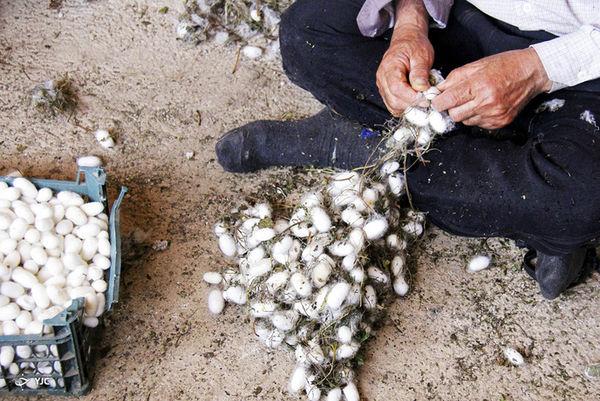 افزایش 4 درصدی تولید پیله تر ابریشم در رازوجرگلان