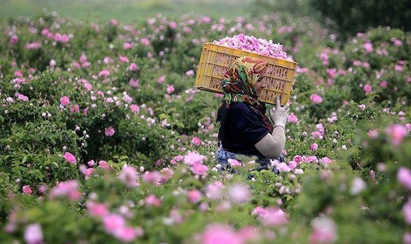 کشت گل محمدی ثبت جهانی میشود